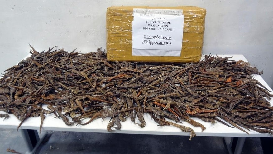 This photo taken on July 28, 2016 by the French Customs shows dead seahorses on a table near Paris. French customs police have seized 2,000 dried seahorses smuggled into France in several postal packages en route from Guinea to Vietnam. The endangered creatures were discover in plastic bags by customs officers in a Paris suburban post office. (Douanes Francaise via AP)