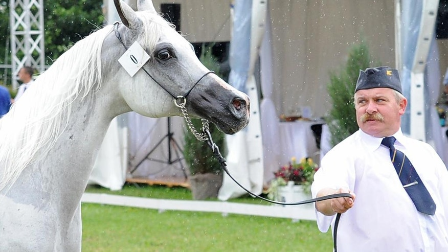 "In this Aug. 14, 2016 photo mare Emira is presented during the yearly Arabian Horse Auction ""Pride of Poland"" in Janow Podlaski, Poland. Irregularities surrounding the sale of Emira have fueled a political scandal in Poland that has cost one official his job, prompted calls for a criminal organization, and damaged the reputation of Poland's respected state Arabian breeding program. (AP Photo/Alik Keplicz)"