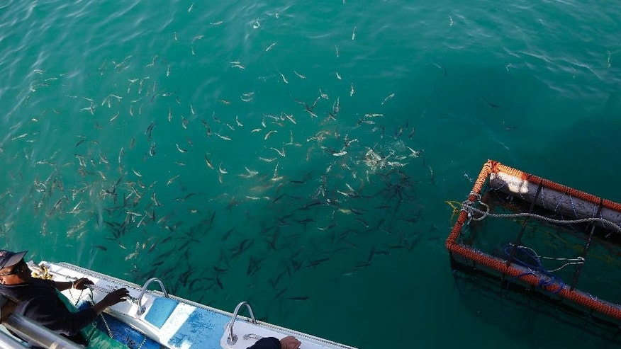 In this Thursday, Aug. 11, 2016, photo, small fish follow a boat of researchers as they chum the ocean looking for sharks in the waters off Gansbaai, South Africa. Extensive research by shark researcher Michael Rutzen and his marine biologist partner, Sara Andreotti, has found that great whites off the South African coast are rapidly heading for extinction. (AP Photo/Schalk van Zuydam)