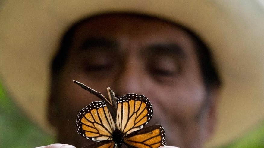 FILE - In this Nov. 12, 2015, file photo, a guide holds up a damaged and dying butterfly at the monarch butterfly reserve in Piedra Herrada, Mexico State, Mexico. Storms caused a big spike in the number of trees blown down or lost to heavy branch damage in forests where migrating monarch butterflies spend the winter in central Mexico, experts reported Tuesday, Aug. 22, 2016. (AP Photo/Rebecca Blackwell, File)