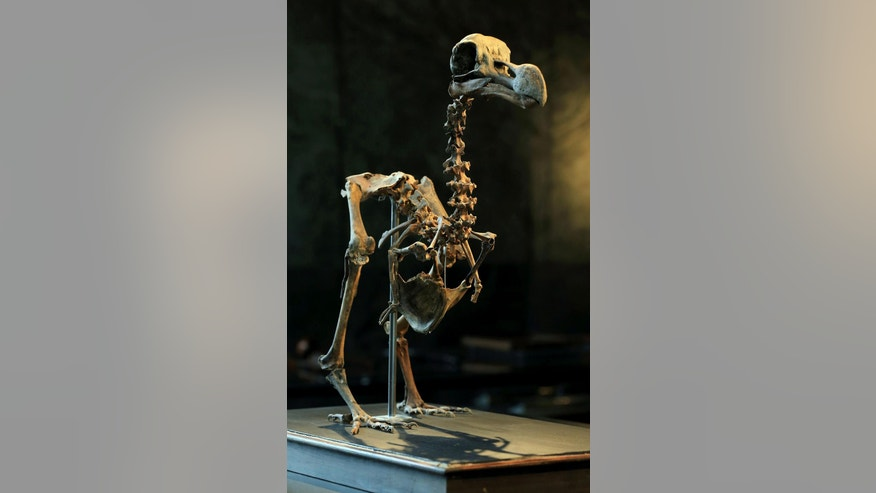 An almost complete Dodo skeleton  is displayed at  Summers Place Auctions in Billingshurst, southern England Thursday Aug. 25, 2016, where It will be the first of its kind to come up for sale in nearly 100 years. The skeleton will feature in the auction house's fourth Evolution sale in November. (Gareth Fuller/PA via AP)