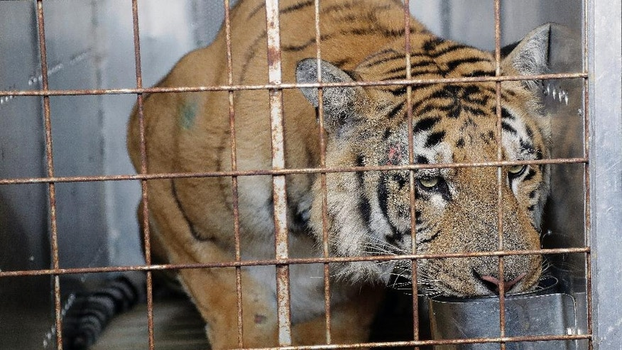 "Laziz the tiger drinks water in a cage upon arrival at O.R Tambo international airport in Johannesburg, South Africa, Thursday, Aug. 25, 2016. Laziz is one of the 15 animals who were removed and rescued by an international charity from the Gaza Strip's main zoo, dubbed ""the worst in the world."" (AP Photo/Themba Hadebe)"