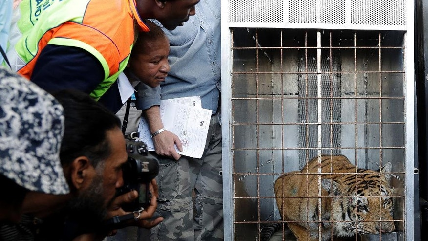 "Laziz the tiger drinks water in a cage as workers and photographer catch a glimpse, upon arrival at O.R Tambo international airport in Johannesburg, South Africa, Thursday, Aug. 25, 2016. Laziz is one of the 15 animals who were removed and rescued by an international charity from the Gaza Strip's main zoo, dubbed ""the worst in the world."" (AP Photo/Themba Hadebe)"