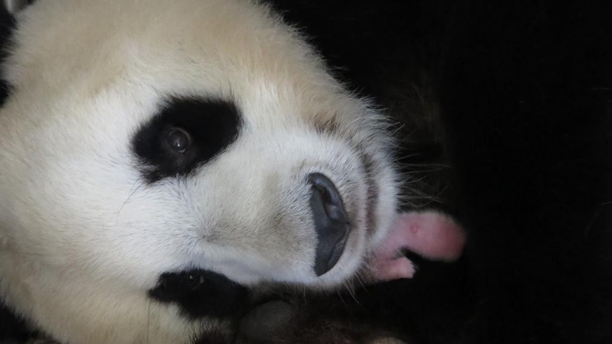"In this image released by the Madrid's Zoo Aquarium, Hua Zui Ba, a giant panda, holds her newly born baby after giving birth at the Madrid zoo, Wednesday Aug. 31, 2016. There's a new giant panda in Madrid, and it's the first female in the history of the Spanish capital's zoo. The zoo said Hua Zui Ba gave birth just before dawn Wednesday to a cub weighing 180 grams (6.35 ounces). The zoo says the cub is ""well formed, very active and has excellent vital signs."" (Madrid Zoo Aquarium via AP)"