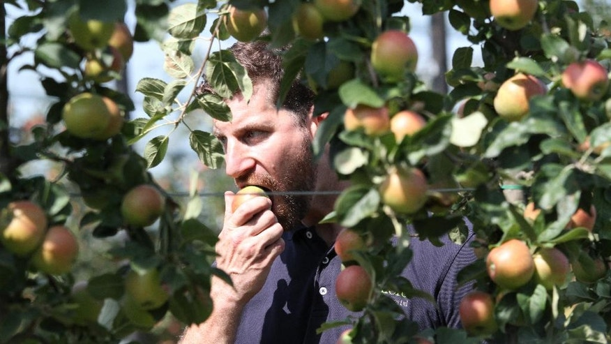 In this photo taken on Wednesday, Aug. 24, 2016, Robert Rendall, director of Boxford Suffolk Farms, eats an apple from his family's fruit fields, in Suffolk, England. British fruit and vegetable growers rely on seasonal workers from other EU countries to harvest their crops because local workers no longer want the poorly paid, physically demanding jobs that offer little security. EU citizens have the automatic right to work in any member state, and low-skilled east European laborers have helped fuel Britain's economy since their countries joined the bloc in 2004. (AP Photo/Leonora Beck)