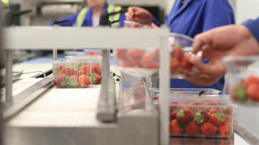 In this photo taken on Wednesday, Aug. 24, 2016, fresh strawberries are weighted on a production line, at Boxford Suffolk Farm, in Suffolk, England. British fruit and vegetable growers rely on seasonal workers from other EU countries to harvest their crops because local workers no longer want the poorly paid, physically demanding jobs that offer little security. EU citizens have the automatic right to work in any member state, and low-skilled east European laborers have helped fuel Britain's economy since their countries joined the bloc in 2004. (AP Photo /Leonora Beck)
