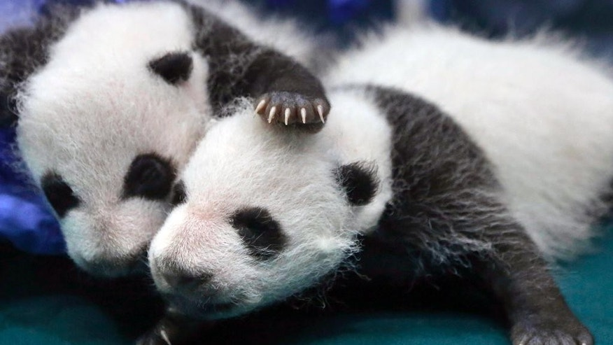 "FILE - In this Aug. 28, 2014 file photo, two of the one month old Panda triples receive a body check at the Chimelong Safari Park in Guangzhou in south China's Guangdong province. The giant panda, one of the symbols of China, is off the endangered list thanks to aggressive conservation efforts. The International Union for Conservation of Nature said in a report released Sunday, Sept. 4, 2016 that the panda is now classified as ""vulnerable"" instead of ""endangered,"" reflecting its growing numbers in the wild in southern China. (AP Photo/Kin Cheung, File)"