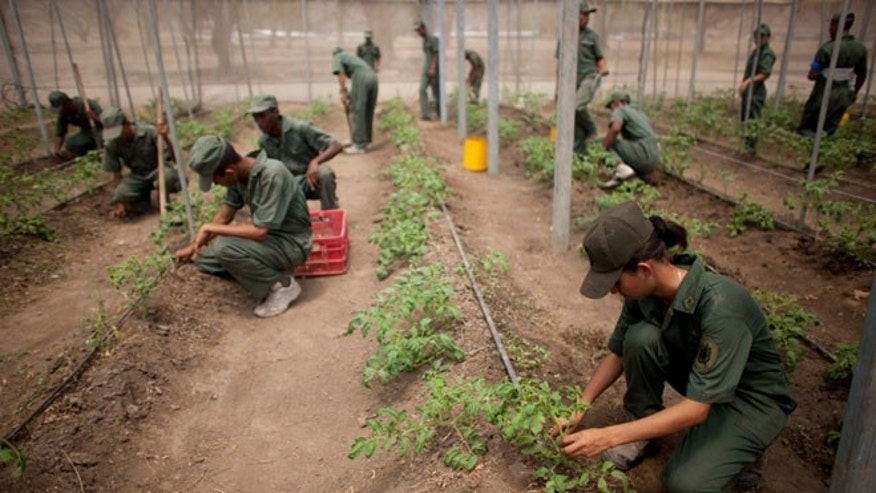 In this March 8, 2016 photo, Bolivarian Army soldiers tend to tomato plants at a military base near Maracay, Venezuela.