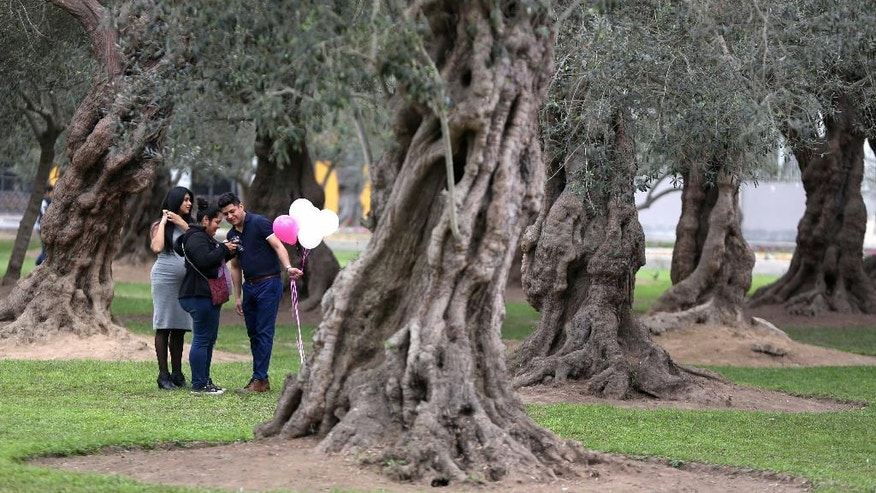 In this Aug. 28, 2016 photo, a group of friends check their camera in El Olivar park, in Lima, Peru.  An excess of water keeping El Olivar green is killing an ancient grove of olive trees planted by Spanish conquerors some four centuries ago. Perfectly suited to the arid climate, the olive trees thrived as the city grew around them. However, in a feat of poor planning, officials surrounded the trees with a carpet of crabgrass that every week receives several million gallons of water, practically drowning the 1,700 trees. (AP Photo/Martin Mejia)