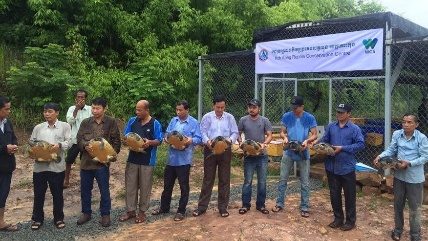 In this photo released by the Wildlife Conservation Society, conservationists prepare to release Royal Turtles at a conservation center in Mondul Seima, Koh Kong province, Cambodia, Tuesday, Sept. 13, 2016.T he New York-based Wildlife Conservation Society have transferred 206 of the nearly extinct Royal Turtles to a new purpose-built breeding and conservation center, easing fears the rare species will disappear in Cambodia. (Mengey Eng/Wildlife Conservation Society via AP)