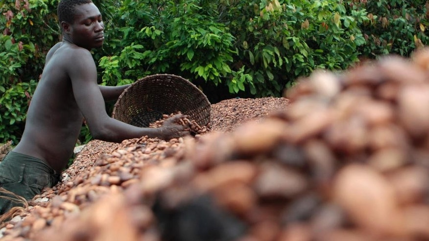 FILE- In this Tuesday, May 31, 2011 file photo, farmer Issiaka Ouedraogo arranges cocoa beans, laid out to dry on reed mats, on a cocoa farm outside the village of Fangolo, near Duekoue, Ivory Coast. Ivory Coast has long been known for its raw cocoa production, producing about 35 percent of the world's supply. But less than a third of what it produces is turned into finished products locally. (AP Photo/Rebecca Blackwell, File)