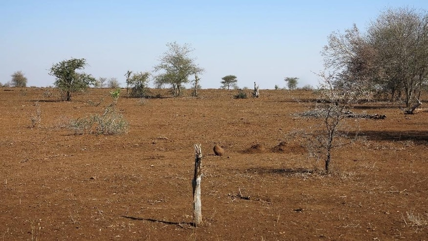 In this photo taken on Thursday, July 21, 2016, shows a drought stricken area in the Kruger National Park, South Africa. Rangers in South Africa's biggest wildlife park are killing about 350 hippos and buffalos in an attempt to relieve the impact of a severe drought. (AP Photo/Dolf van Zuydam)