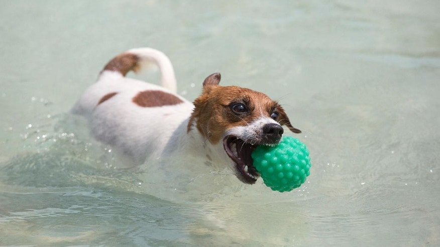 "Dog ""Bacana"" retrieves a ball during the Dog Olympic Games in Rio de Janeiro, Brazil, Sunday, Sept. 18, 2016. Owner of the dog park and organizer of the animal event Marco Antonio Toto says his goal is to socialize humans and their pets while celebrating sports. (AP Photo/Silvia Izquierdo)"