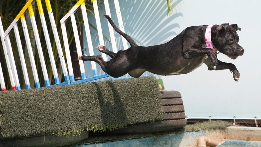 """Dog """"Zaia"""" participates in the jumping competition during the Dog Olympic Games in Rio de Janeiro, Brazil, Sunday, Sept. 18, 2016. Owner of the dog park and organizer of the animal event Marco Antonio Toto says his goal is to socialize humans and their pets while celebrating sports. (AP Photo/Silvia Izquierdo)"""