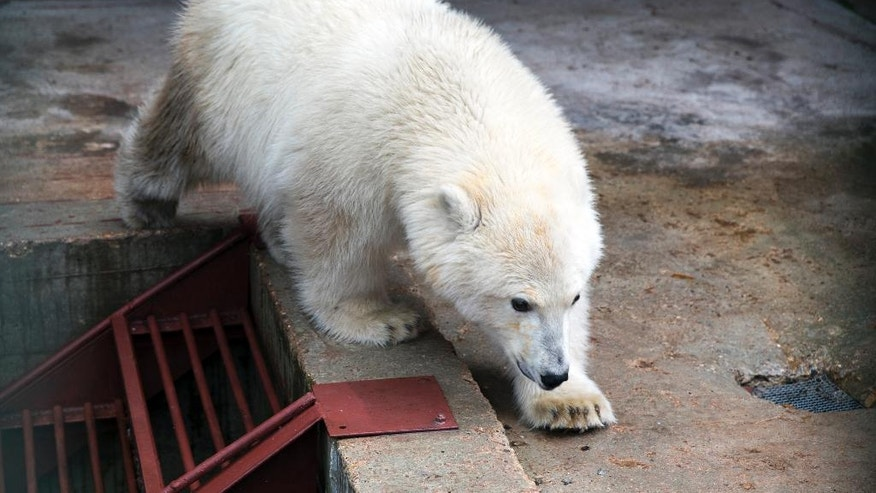 Polar bear Nika walks in her enclosure in a Moscow's Zoo facility outside Moscow, Russia, Tuesday, Sept. 20, 2016.  Nika the polar bear was rescued by Russian Defence ministry in Russia's Far East last week and has been settled in the Zoo facility outside Moscow. (AP Photo/Pavel Golovkin)