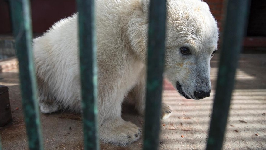 Polar bear Nika sits in her enclosure in a Moscow Zoo facility outside Moscow, Russia, Tuesday, Sept. 20, 2016.  Nika the polar bear was rescued by Russian Defence ministry in Russia's Far East last week and has been settled in the Zoo facility outside Moscow. (AP Photo/Pavel Golovkin)