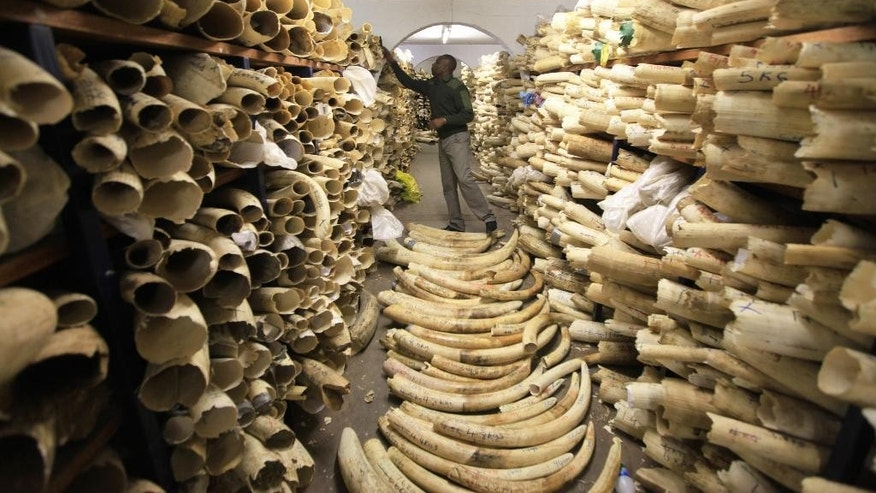 FILE - In this Thursday, June, 2, 2016 file photo, a  Zimbabwe National Parks official is seen inspecting the country's ivory stockpile at the Zimbabwe National Parks Headquarters in Harare, Zimbabwe. Africa is divided over how to conserve elephants whose population has plummeted in the last decade. Namibia, Zimbabwe and South Africa favour selling ivory stockpiles but are opposed by about 30 African countries that want to tighten an international ban on the ivory trade. (AP Photo/Tsvangirayi Mukwazh, file)