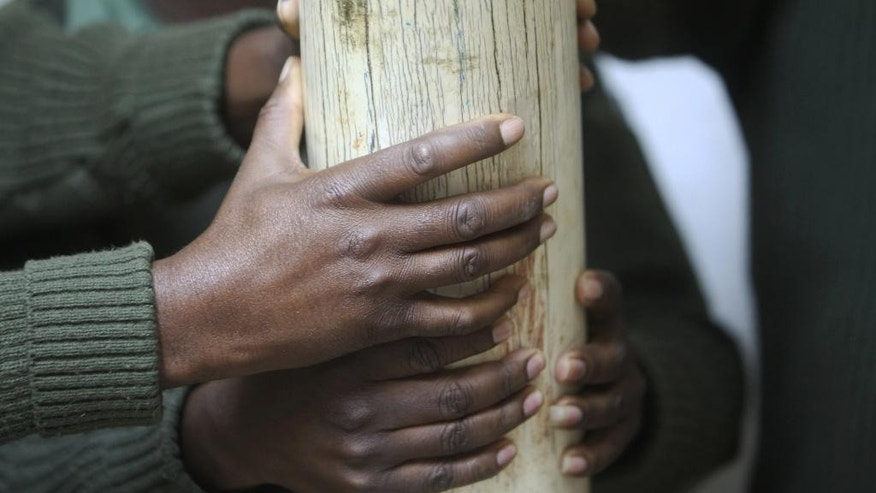FILE - In this Thursday, June, 2, 2016 file photo, Zimbabwe National Parks staff hold an elephant tusk during a tour of the country's  ivory stockpile at the Zimbabwe National Parks Headquarters in Harare. Africa is divided over how to conserve elephants whose population has plummeted in the last decade.Namibia, Zimbabwe and South Africa favour selling ivory stockpiles but are opposed by about 30 African countries that want to tighten an international ban on the ivory trade.(AP Photo/Tsvangirayi Mukwazhi, file)