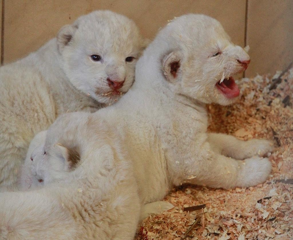 White tigers and white lions