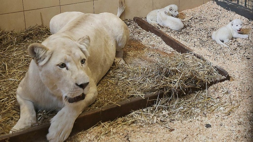 Three rare, four-day-old white baby lions with their mother Azira, at the private Zoo Safari in Borysew, Poland, Thursday, Sept. 22, 2016. The fourth cub born Sunday, Sept. 18, 2016, by the five-year-old Azira cannot be seen in the photo. The caretakers don't want to disturb the family and have not yet checked how many males and females were born. (AP Photo/Czarek Sokolowski)