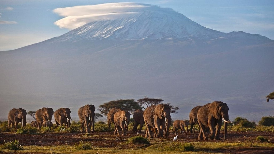 FILE--In this file photo of Monday Dec.17, 2012, a herd of adult and baby elephants walks in the dawn light as the highest mountain in Africa, Tanzania's Mount Kilimanjaro, is seen in the background, in Amboseli National Park, southern Kenya. Some African elephant herds are adapting to the danger of poaching by moving out of risky areas, according to one conservation group. The plight of elephants is a key issue at the meeting of the Convention on International Trade in Endangered Species of Wild Fauna and Flora, or CITES, which began over the weekend and ends Oct. 5. (AP Photo/Ben Curtis, File)
