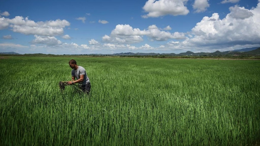 In this Sept. 19, 2016 photo, Jonathan Rodriguez Alicea works in a rice field at Fraternity Farm in Lajas Valley in Guanica, Puerto Rico. Farming has become one of the few areas of growth on an island struggling to emerge from a 10-year recession and a still-unfolding debt crisis. (AP Photo/Carlos Giusti)