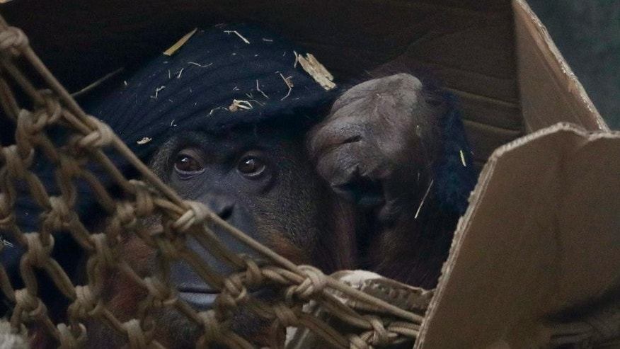 In this Sept. 13, 2016 photo, Sandra the orangutan sits in a cardboard box in her enclosure at an eco-park, formerly the Palermo zoo, in Buenos Aires, Argentina. Rosario Espina, the director of biodiversity at the Buenos Aires eco-park, said the eco-park is looking into the possibility of a private sanctuary for Sandra on the outskirts of Sao Paulo, Brazil, but that will depend on the conditions of the place and Sandra's health. (AP Photo/Natacha Pisarenko)