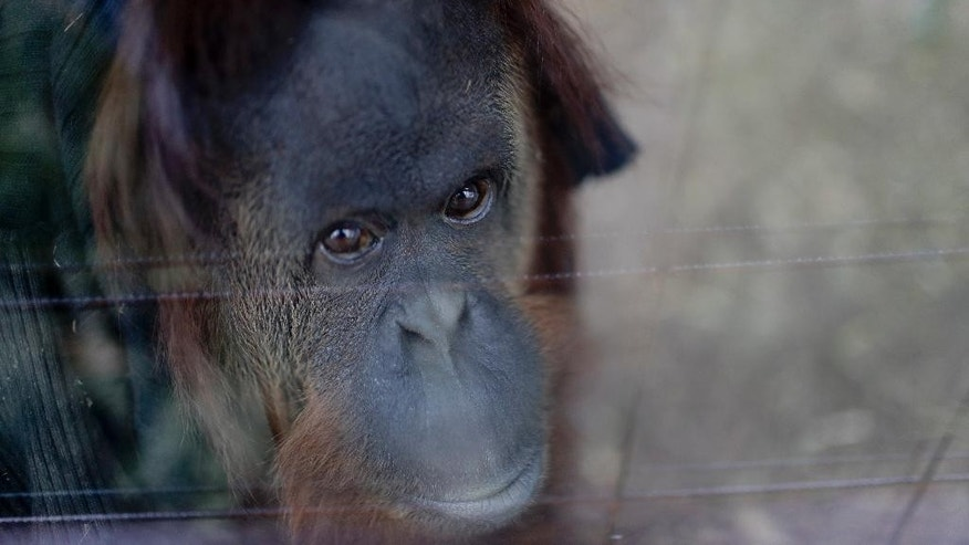 "In this Sept. 13, 2016 photo, Sandra the orangutan sits in her enclosure at an eco-park, formerly the Palermo zoo, in Buenos Aires, Argentina. The definition of orangutan is written in a sign outside Sandra's cage: from the Malay expression meaning ""person of the forest."" But Sandra remains behind bars in a concrete cell in Buenos Aires and may never see the rainforest of her ancestors. (AP Photo/Natacha Pisarenko)"