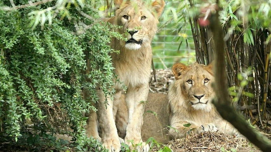 FILE - In this Sept. 20, 2016 file photo lions Motshegetsi, left, and Majo look from behind a shrub in the zoo in Leipzig. eastern Germany. One of the lions had to be shot after they escaped from their enclosure Thursday, Sept. 29, 2016.  (Jan Woitas/dpa via AP, file)