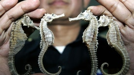 FILE - In this March 16, 2007 file photo, a Thai customs official shows confiscated seahorses during a press conference in Bangkok. It was announced Thursday Sept. 29, 2016, at a meeting of the Convention on International Trade in Endangered Species of Wild Fauna and Flora that Thailand, the biggest exporter of seahorses, is suspending trade in the animal because of concern about threats to its wild population (AP Photo/Sakchai Lalit, File)
