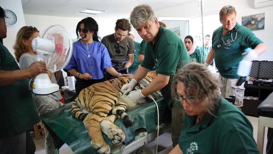 A sedated tiger is examined before being moved from the al-Ma'wa New Hope Center, outside Amman, Jordan, Sunday, Oct. 2, 2016. Two tigers and a bear were moved on Sunday to a wildlife reserve in northern Jordan. They are among 25 animals to be released into the al-Mawa reserve near the town of Jerash. Many of the 17 lions, five wolves, two tigers and a bear were confiscated from smugglers. Two lion cubs came from the Gaza Strip last year, while another two were rescued after smugglers advertised the cubs on Facebook. (AP Photo/Thomas Hartwell)