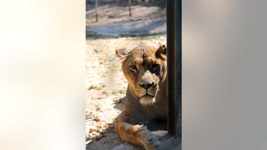 An African lion rests at the al-Ma'wa New Hope Center, an animal rescue center outside Amman, Jordan, Sunday, Oct. 2, 2016. Two tigers and a bear were moved on Sunday to a wildlife reserve in northern Jordan. They are among 25 animals to be released into the al-Mawa reserve near the town of Jerash. Many of the 17 lions, five wolves, two tigers and a bear were confiscated from smugglers. Two lion cubs came from the Gaza Strip last year, while another two were rescued after smugglers advertised the cubs on Facebook. (AP Photo/Thomas Hartwell)