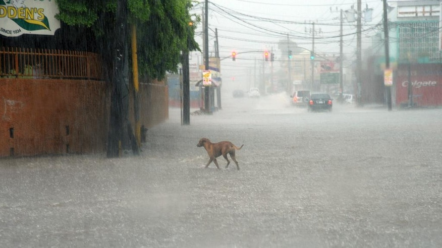 A dog crosses a street under heavy rain in downtown Kingston, Jamaica, Sunday Oct. 2 , 2016. An extremely dangerous Hurricane Matthew is moving slowly over the Caribbean. It's following a track that authorities are warning could trigger devastation in parts of Haiti.(AP Photo/Collin Reid)