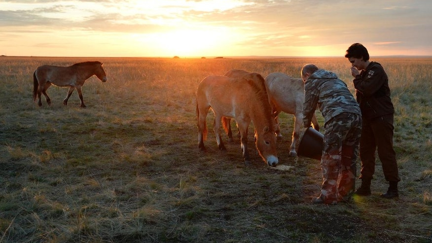 Russian President Vladimir Putin feeds Przewalski's horses in a reserve for wild horses near the Urals city of Orenburg, about 1300 kilometers (800 miles) southeast of Moscow, Russia, Monday, Oct. 3, 2016. (Alexei Druzhinin/Sputnik, Kremlin Pool Photo via AP)