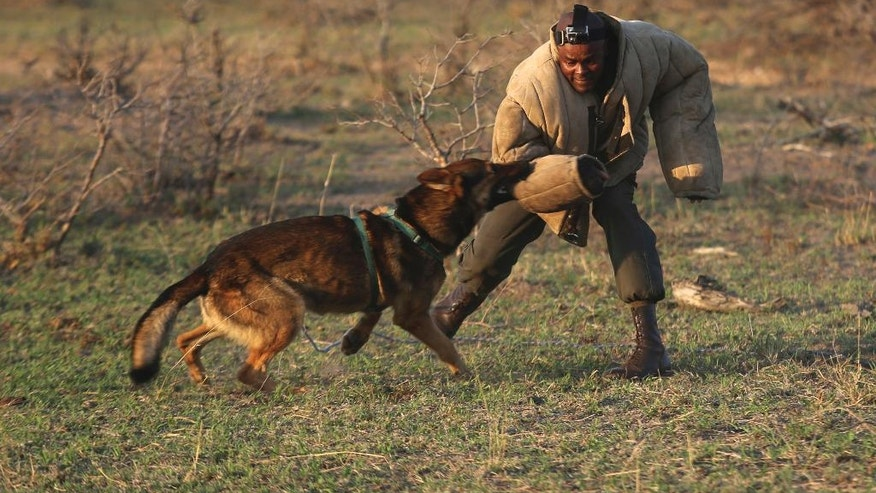 In this photo taken Friday, Sept. 30, 2016, dog handler, Wisdom Makhubele is attacked by a dog during a simulated tracking exercise at the Southern African Wildlife College on the edge of Kruger National Park in South Africa. As teams of poachers stalk rhinos and elephants in the park, wildlife officials are turning to nearby communities to help stop the slaughter by using local knowledge to deter poachers, not join them. (AP Photo/Denis Farrell)