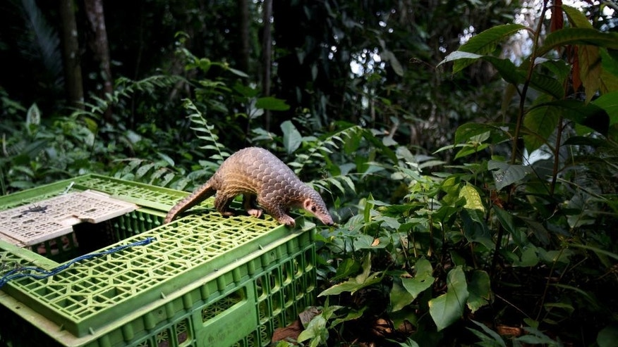 FILE - In this Monday, April 27, 2015 file photo, a pangolin climbs out of a cage upon its release into the wild in Sibolangit, North Sumatra, Indonesia. Although a global wildlife summit banned all trade of the pangolin, an anteater with a distinctive coat of hard scales, doubts remain whether that will stop the illegal traffic of pangolins in Africa fueled by a growing demand from Asian consumers, particularly Chinese. (AP Photo/Binsar Bakkara, File)