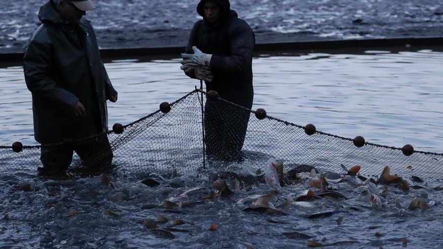 Christoph Oberle, left, and his assistant put a pole into the ground of a pond with a net full of carp in Erlangen, Germany, Tuesday, Oct. 11, 2016. Carp are a traditional food in Germany around the Christmas time and New Year. (AP Photo/Matthias Schrader)