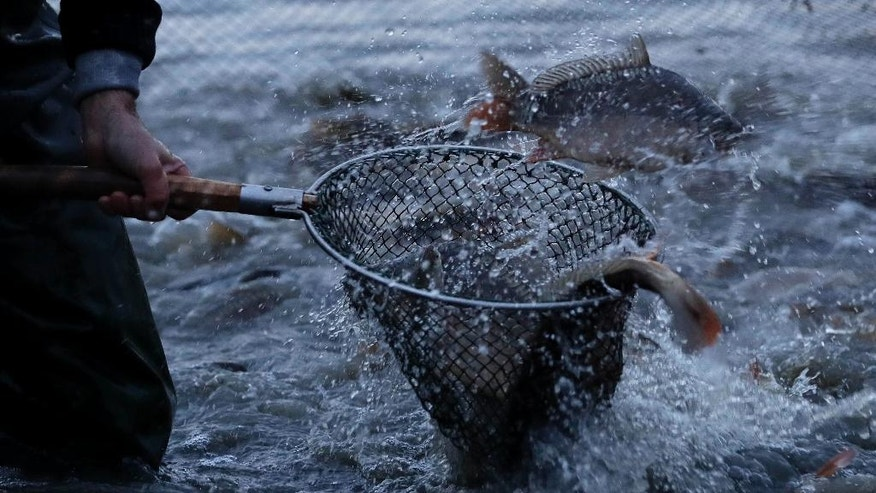 A fisherman picks up carp and other fish in Erlangen, Germany, Tuesday, Oct. 11, 2016. Carps are a traditional food in Germany around the Christmas time and New Year. (AP Photo/Matthias Schrader)