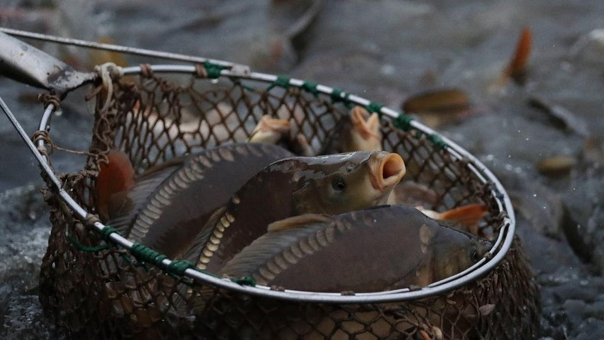 A fisherman picks up carp in Erlangen, Germany, Tuesday, Oct. 11, 2016. Carp are a traditional food in Germany around the Christmas time and New Year. (AP Photo/Matthias Schrader)