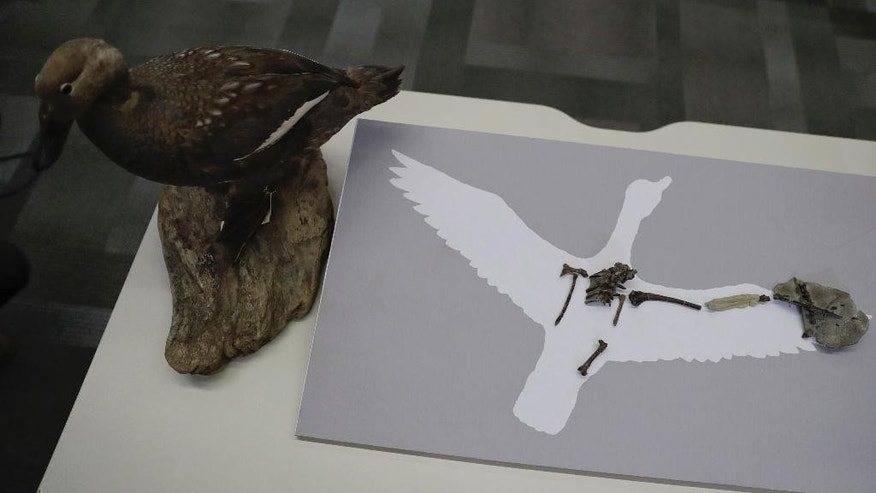 "A recently discovered 70 million year old fossil of the ""Vegavis Iaai"" bird that lived in Antarctica's Vega Island more than 70 million years ago is placed on silhouette and a model of the bird, on a desk before a conference in Buenos Aires, Argentina, Wednesday, Oct. 12, 2016. Scientists say that the bird probably sounded like a modern-day duck. They based their findings on the unearthed fossils of the bird's sound-producing vocal organ known as the syrinx. (AP Photo/Natacha Pisarenko)"