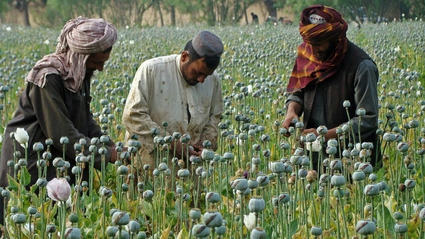 FILE -- In this April 21, 2014 file photo, Afghan farmers harvest opium, in Helmand province, Afghanistan. For the past month, the Taliban have held control over most of Afghanistan's Helmand province, where the majority of the world's opium is grown -- and as insurgent attacks intensify around the provincial capital, residents are blaming rampant government corruption for the rising militant threat. At an international aid conference in Brussels that closed Wednesday, Oct. 5, 2016, Afghanistan's leaders pledged to clamp down on graft, but corrupt officials have hollowed out national security forces and are alienating local populations.  (AP Photo/Abdul Khaliq, File)