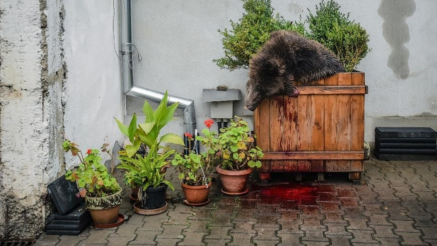 In this Wednesday, Oct. 12, 2016 photo provided by Turnul Sfatului, a bear cub lies in a flower pot after being shot dead by Romanian police in SIbiu, Romania. Romanian police opened an inquiry Thursday, Oct. 13, 2016, into the death of a the brown bear, which was shot after it wandered into a city Wednesday before police shot it, sparking outrage among people and wildlife protection organizations, with the country's President Klaus Iohannis criticizing the killing. (Silvana Armat/Turnul Sfatului via AP)