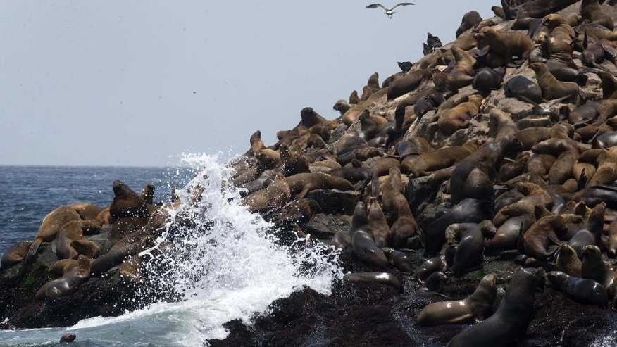 Hundred of sea lions rest on Palomino Islands, near the port of Callao, Peru, Friday, Oct. 14, 2016. Peru's Organization for Research and Conservation of Aquatic Animals, or ORCA, brought nine orphaned sea lions back to health and released them on Friday, into the ocean waters off the coast of the Palomino Islands where hundreds of others sea lions live. (AP Photo/Martin Mejia)
