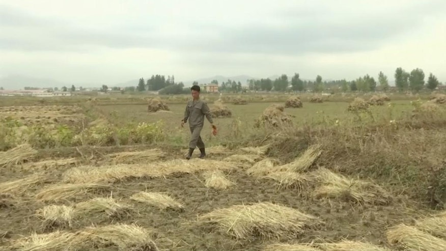 In this Friday, Oct. 7, 2016, image made from video, a farmer walks in a field during harvest in South Hwanghae province, North Korea. North Korea could be looking at a better harvest this year thanks to good weather and ongoing changes in policy that allow farmers to keep more of what they produce. With the main harvest of 2016 now underway, officials say that despite severe flooding in the northeast the overall yield is likely to slightly better than last year. Farmers say the new policies, which let them keep _ and sell _ more of what they grow, are boosting production and making them more competitive. (AP Photo)