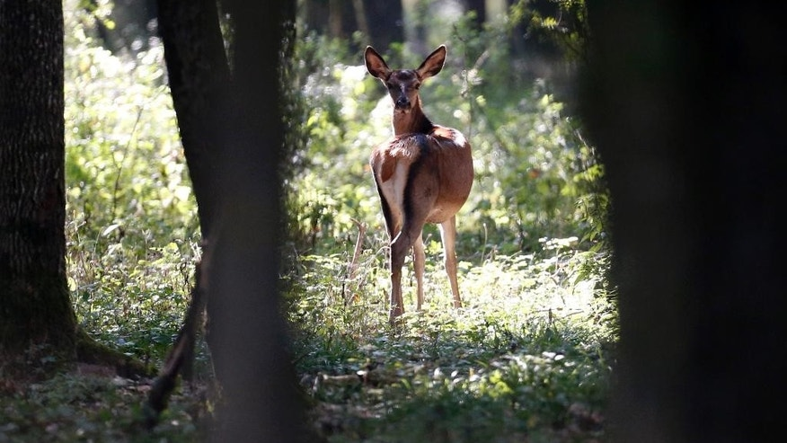 In this photo from Sunday, Oct. 9, 2016, a doe looks back in the forest near Knezevo, northeast Croatia, near the border with Hungary. Thousands of deer and other wild animals have become the unintended victims of Hungary's attempts to prevent migrants crossing the border from Croatia _ their natural habitat is disrupted by kilometers of barbed wire fence. (AP Photo/Darko Bandic)