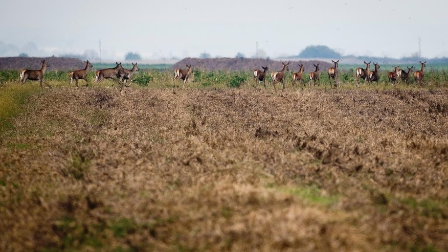 In this photo from Monday, Oct. 10, 2016, deer run through agricultural fields near Dubosevica, northeast Croatia, near the border with Hungary. Thousands of deer and other wild animals have had their natural habitat disrupted by kilometers of barbed wire fence erected last year on the border between Hungary and Croatia to stem the flow of refugees and migrants. (AP Photo/Darko Bandic)
