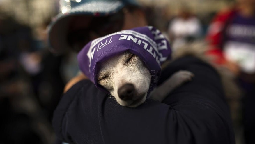 "A dog named ""Charly"" rests in the arms of his owner after both took part in a run in Madrid, Sunday, Oct. 16, 2016. About 3,500 dogs of all breeds and sizes with purple bandanas around their necks marched the streets of Madrid with their owners in tow in the fifth edition of the ""perroton,"" or Dogathon, a yearly event that seeks to raise awareness about animal cruelty and the importance of dog adoptions. (AP Photo/Francisco Seco)"