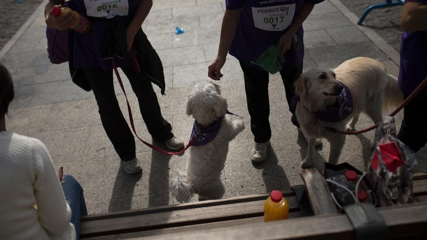 "A woman feeds a dog after taking part in a run in Madrid, Sunday, Oct. 16, 2016. About 3,500 dogs of all breeds and sizes with purple bandanas around their necks marched the streets of Madrid with their owners in tow in the fifth edition of the ""perroton,"" or Dogathon, a yearly event that seeks to raise awareness about animal cruelty and the importance of dog adoptions. (AP Photo/Francisco Seco)"