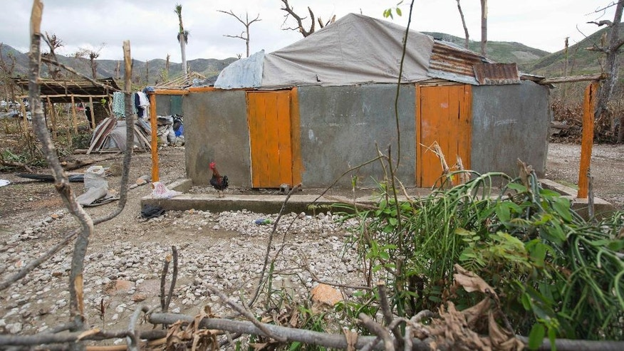 This Tuesday, Oct. 18, 2016 shows a rooster standing near the home of Bertha Mesilier, that she shared with her husband Edma Desravine, who was last seen seeking refuge from the heavy rainfall and winds brought by Hurricane Matthew, in Port-a-Piment, a district of Les Cayes, Haiti. Nobody has seen or heard from the 71-year-old grandfather known for his sly sense of humor and bad luck at cock fights, in the 2 ½ weeks since Hurricane Matthew sent floodwaters and debris crashing into his riverside shantytown.(AP Photo/Dieu Nalio Chery)