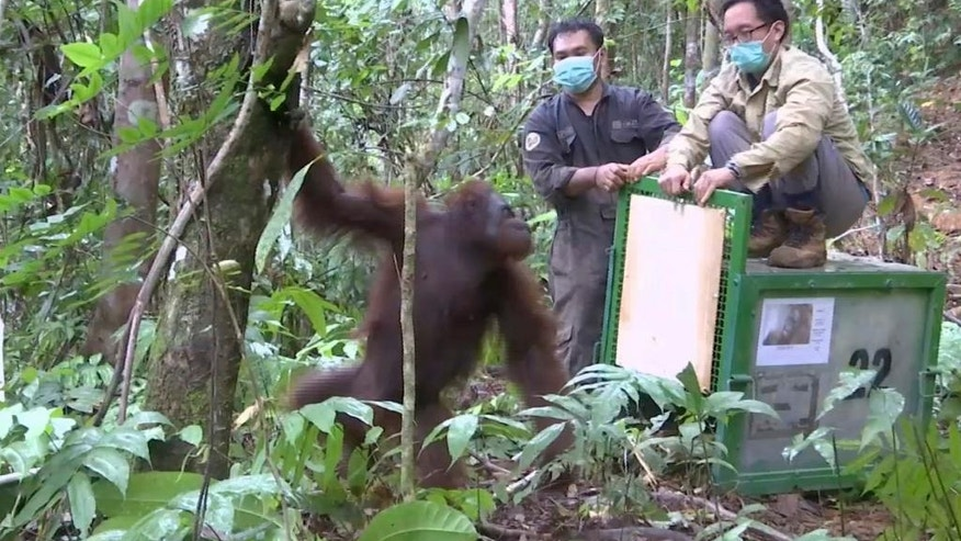 CORRECTS NUMBER OF RELEASED ORANGUTANS - In this Oct. 19, 2016 image made from video, activists open a cage to release a rehabilitated orangutan back into the wild at Kehje Sewen forest in East Kalimantan, Indonesia. Five Bornean orangutans were released into their natural habitat by the Borneo Orangutan Survival Foundation after years-long rehabilitation from trauma often inflicted by people. (AP Photo)